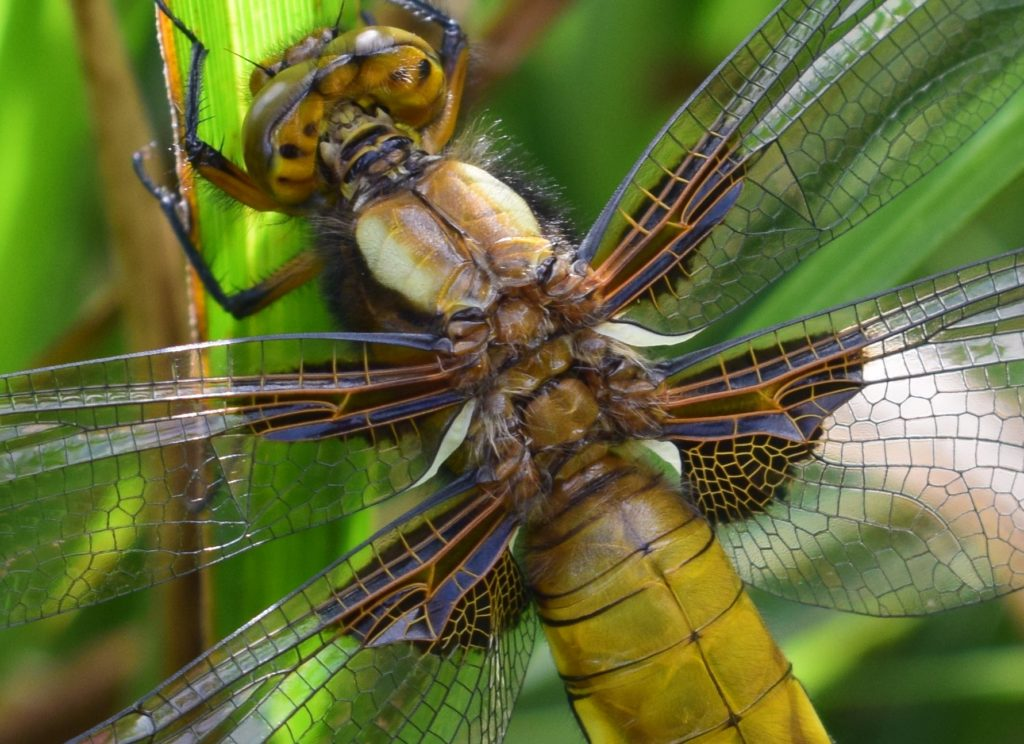 photography, insects and dragonflies